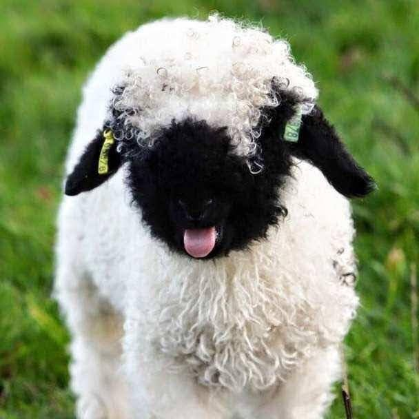 What is the natural purpose of lanolin in sheep'swool?