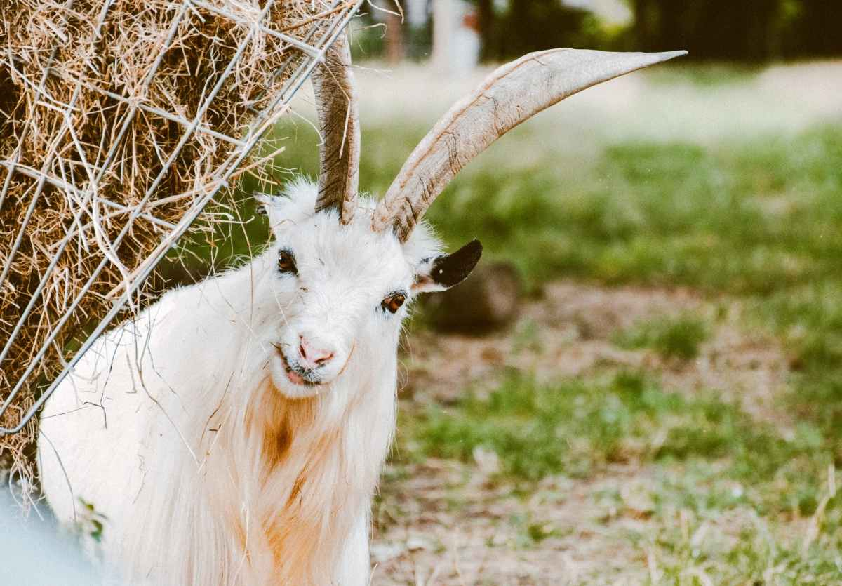 Are goats hard to maintain when compared tosheep?