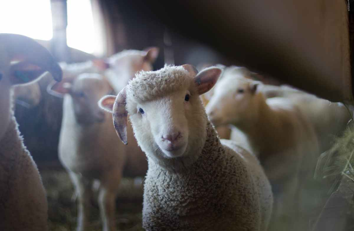 What are the potential problems with having a sheep as a pet in a home with a fencedbackyard?